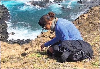 Cathy collecting seeds of coastal 'akoko (Euphorbia degneri).